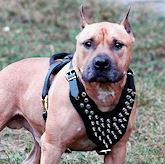 Leather spiked dog harness for Amstaff- American Staffordshire   Terrier spiked harness