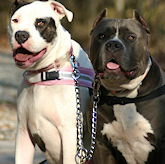 Amstaff Dog Leashes