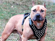 Black Spiked Leather Harnesses for Amstaff