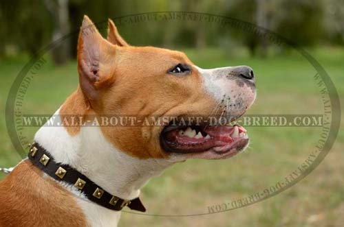 Easy In Use Dog Collar For American Staffordshire  Terrier