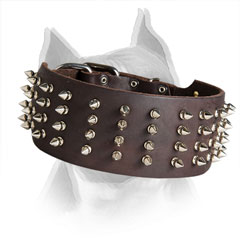Wide Leather Collar for Amstaff with Rust Resistant Spikes