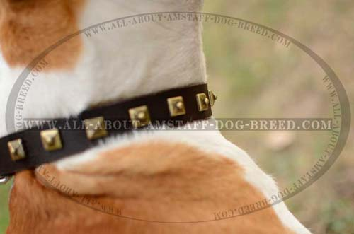 Exceptional Amstaff Dog Collar With A Sturdy Buckle