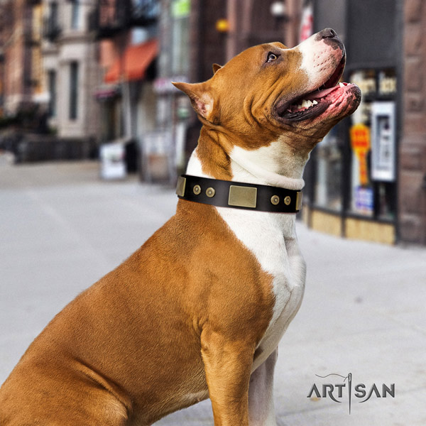 Amstaff comfy wearing genuine leather dog collar with adornments
