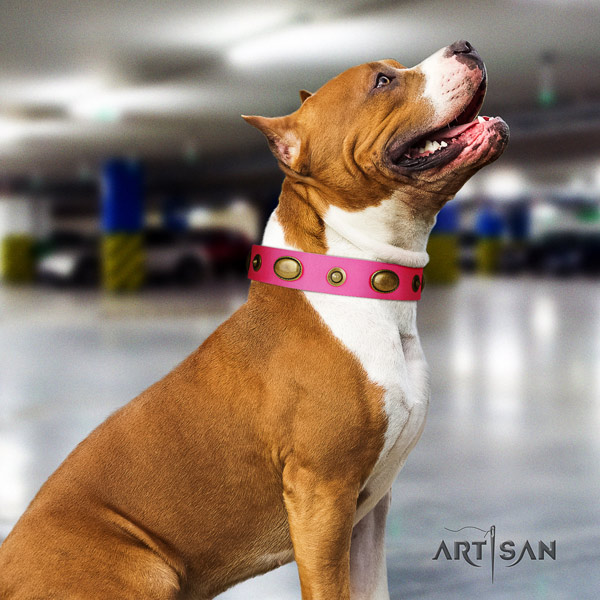 Amstaff comfortable wearing leather dog collar with adornments