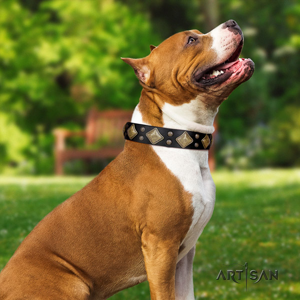 Amstaff designer full grain leather dog collar with adornments for daily use