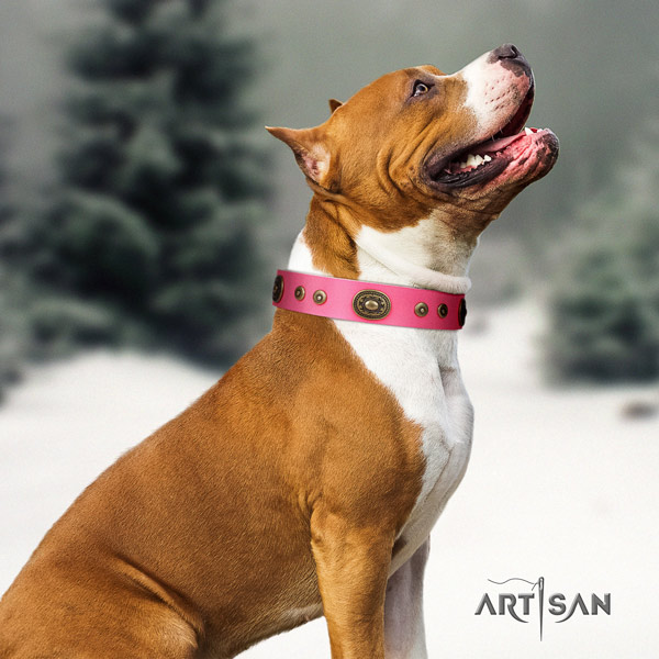 Amstaff significant genuine leather dog collar with adornments for stylish walking