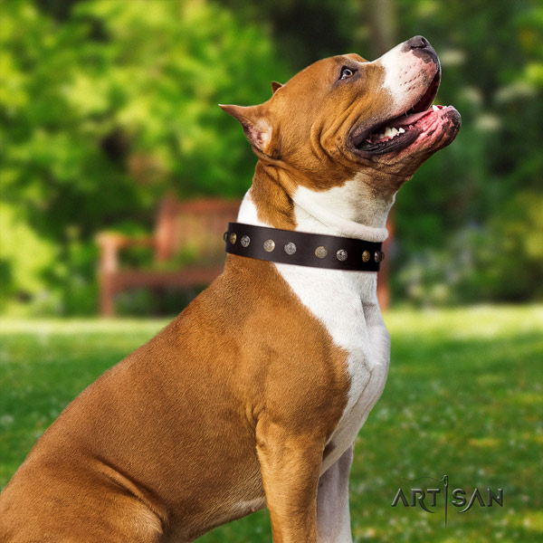 Amstaff unique leather dog collar with decorations for fancy walking