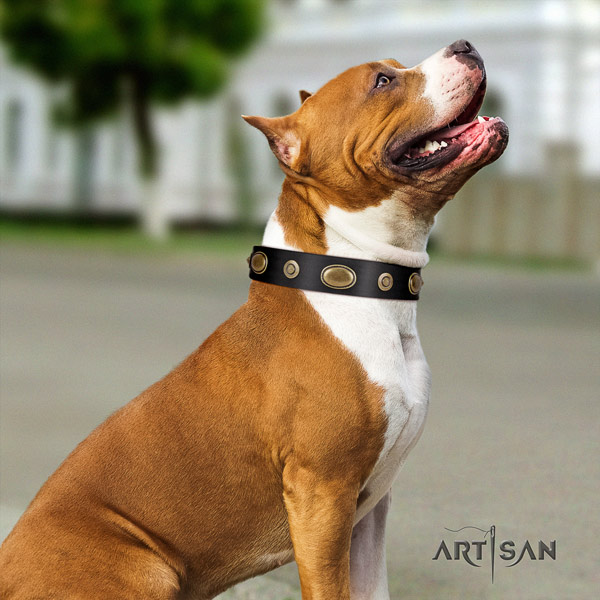 Amstaff comfortable wearing full grain natural leather dog collar with decorations