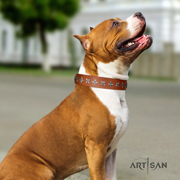Amstaff comfortable wearing full grain genuine leather dog collar with decorations