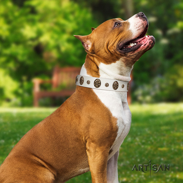 Amstaff designer full grain genuine leather dog collar for basic training