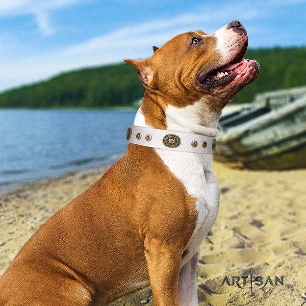 Amstaff incredible full grain leather dog collar with adornments for everyday walking