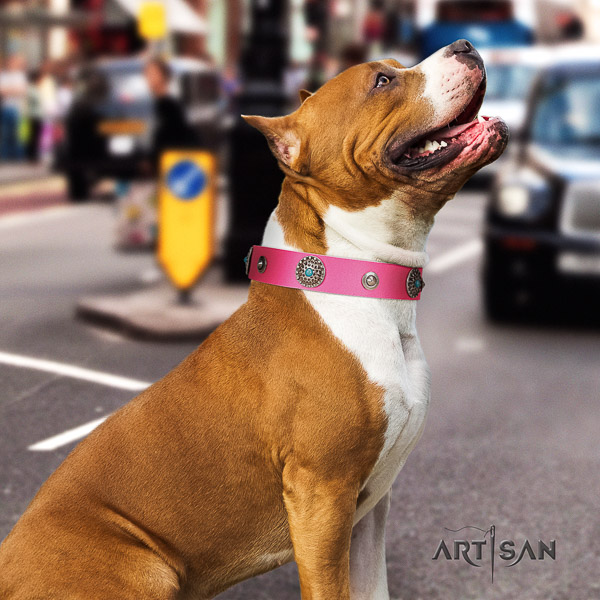 Amstaff impressive full grain leather dog collar for fancy walking