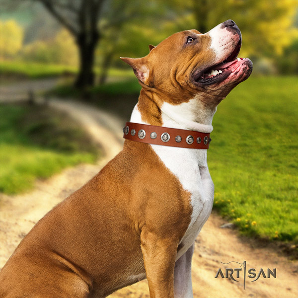 Amstaff walking natural genuine leather dog collar with adornments