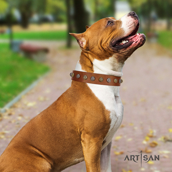 Amstaff fine quality full grain genuine leather dog collar for fancy walking