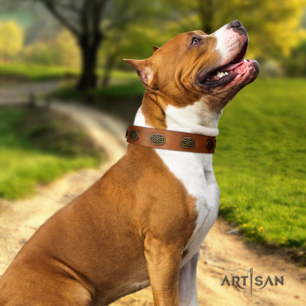 Amstaff daily walking full grain natural leather dog collar with studs