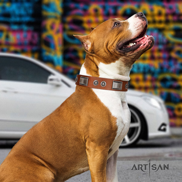 Amstaff comfortable wearing natural genuine leather dog collar with adornments