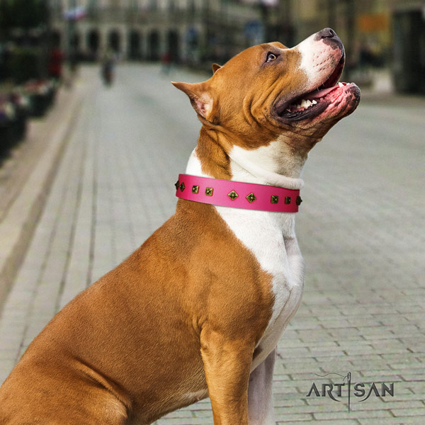 Amstaff comfy wearing full grain leather dog collar with decorations