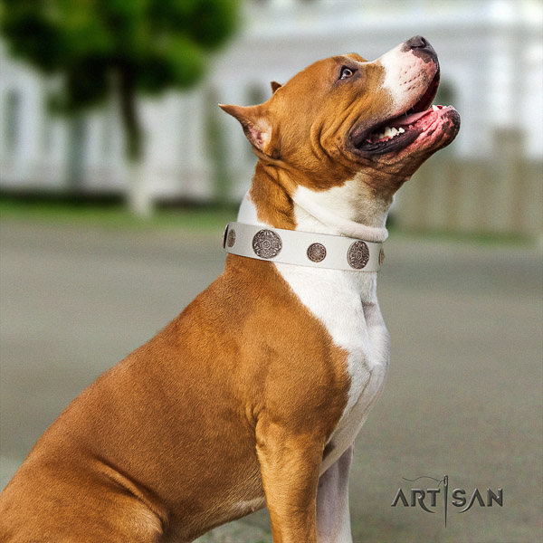 Amstaff amazing full grain natural leather dog collar for stylish walking