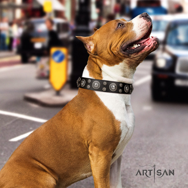 Amstaff amazing full grain leather dog collar with embellishments for daily walking