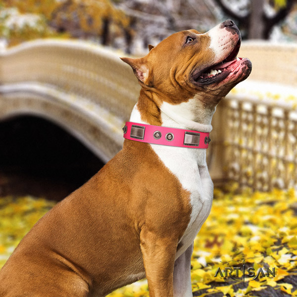 Amstaff comfortable wearing full grain leather dog collar with embellishments