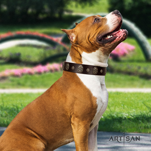 Amstaff studded natural genuine leather dog collar for daily use