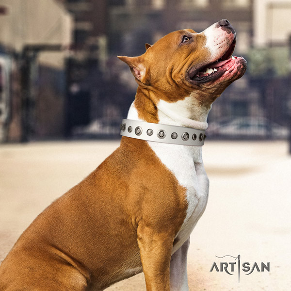 Amstaff comfortable wearing full grain natural leather dog collar with studs
