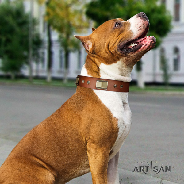 Amstaff walking natural genuine leather dog collar with embellishments