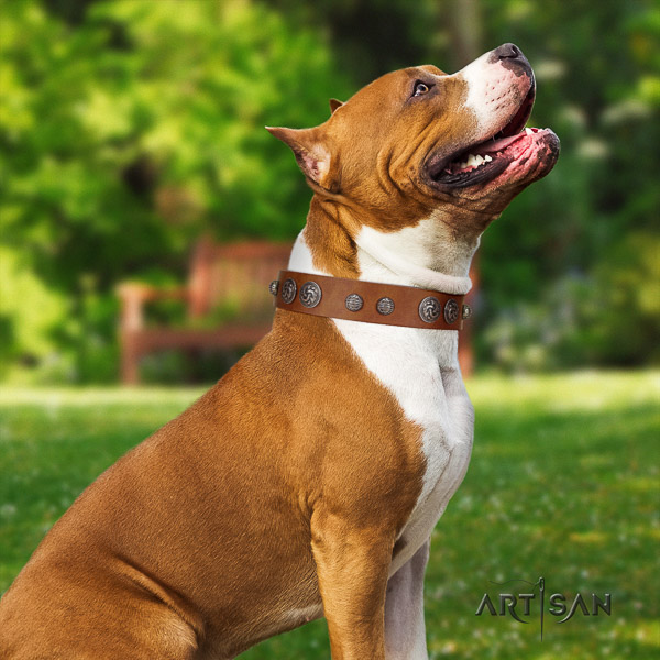 Amstaff adorned full grain genuine leather dog collar for stylish walking