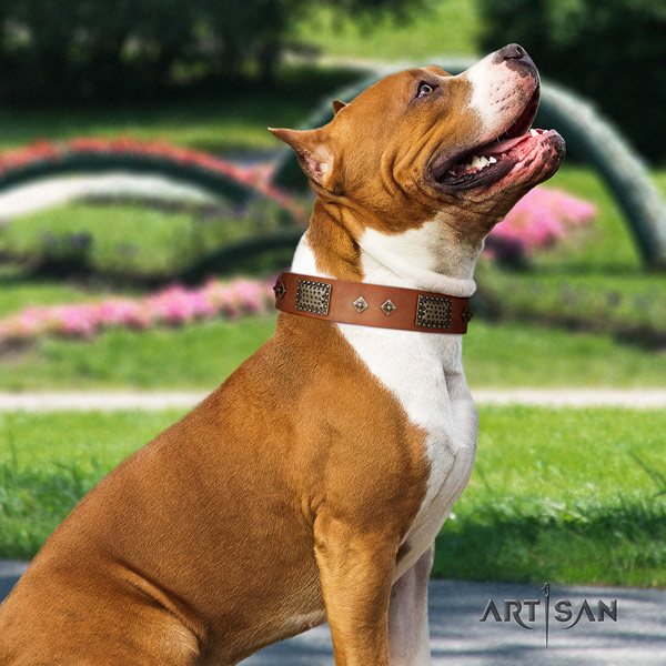 Amstaff comfortable wearing leather dog collar with embellishments