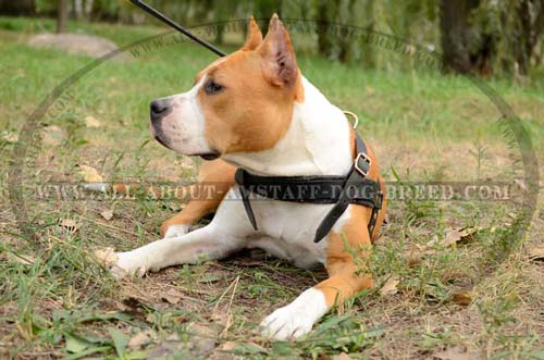 Amstaff Dog Harness With Firm Hardware
