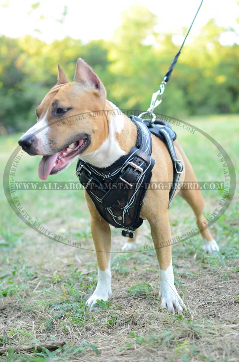 American Staffordshire Terrier Dog Harness With Barbed Wire Painting BIG get barbed wire leather amstaff harness painted product wire dog harness at bayanpartner.co