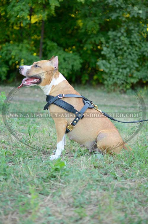 American Staffordshire Terrier Leather Harness with Rust-proof Gold-like Hardware