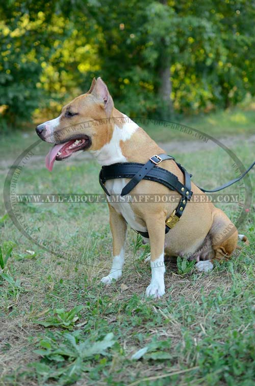 Leather Amstaff Dog Harness Perfectly Suitable For Any  Situation