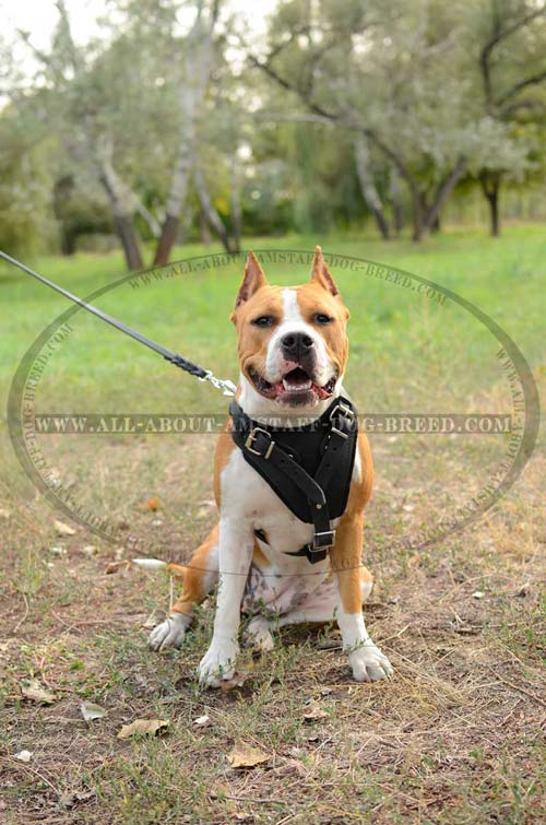 Amstaff Dog Harness Is Available In 2 Colors