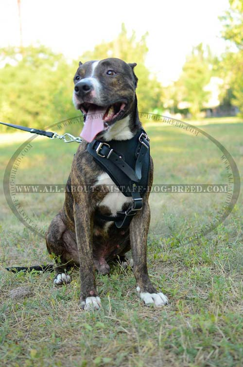 Amstaff Harness Leather for Effective Hard Training