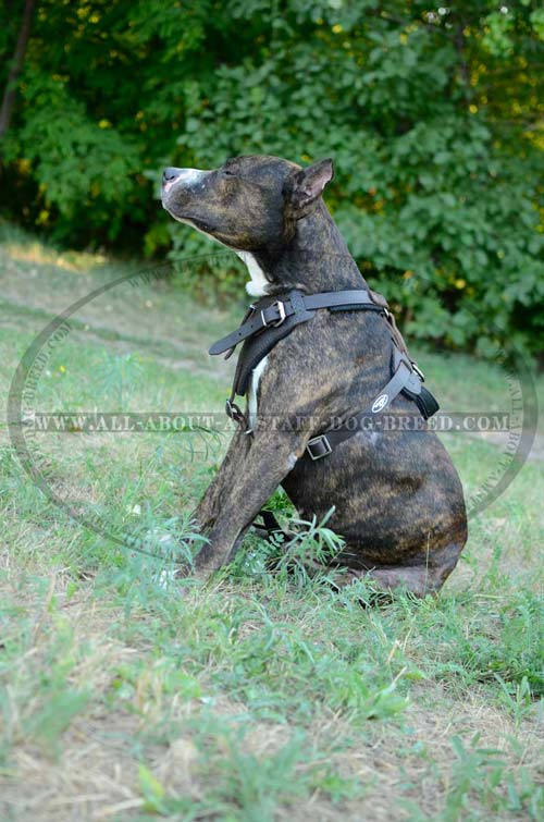 Soft Felt Padded Leather Amstaff Dog Harness With Easy  Adjustable Straps