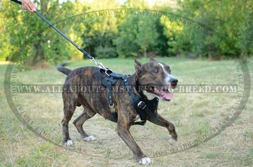 Leather Harness for Amstaff Daily Walking