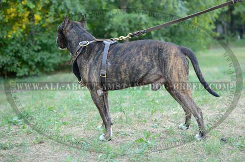 Amstaff Leather Harness for Effective Dog Training