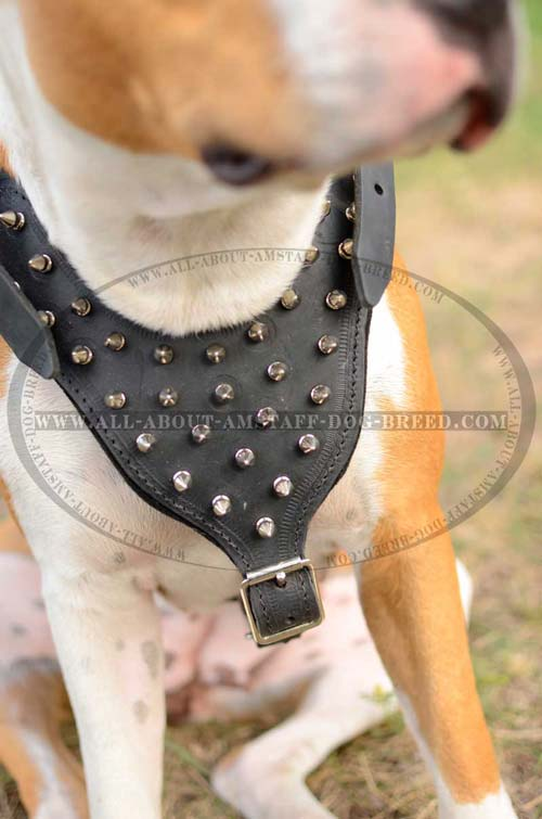 Exceptional Amstaff Dog Harness With Wide Straps