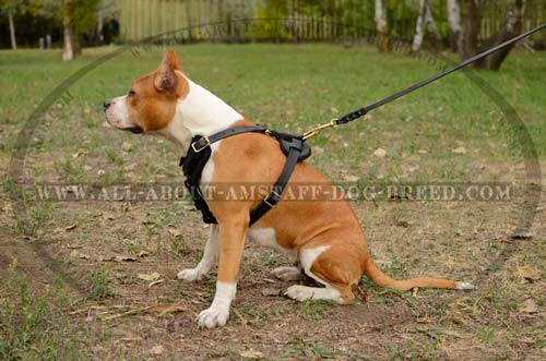 Wide Chest Plated Amstaff Dog Harness For More Comfort