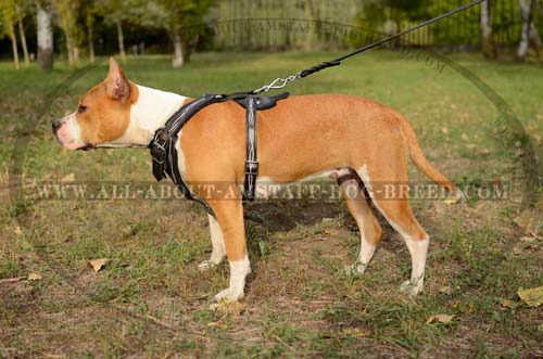Handcrafted Amstaff Dog Harness With Wide Chest Plate