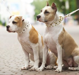 American Staffordshire Terrier Standard